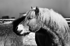 Cavalli Tirol del sud Immagine Stock Libera da Diritti
