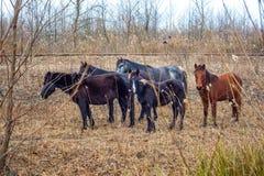 Cavalli trascurati lungo le piste, inverno Immagini Stock