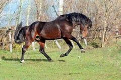 Cavalli ucraini della razza del cavallo Immagine Stock Libera da Diritti
