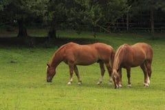 Cavalli in un campo Immagine Stock
