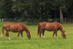 Cavalli in un campo Fotografie Stock Libere da Diritti