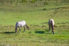 Cavalli in un campo che mangiano erba e rilassamento Immagini Stock