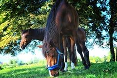 Cavalli in un campo che mangiano erba verde Fotografia Stock