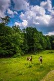 Cavalli in un campo dell'azienda agricola negli altopiani rurali di Potomac dell'ovest Vi Immagini Stock