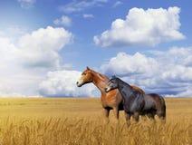 Cavalli in un giacimento di grano dorato Immagini Stock