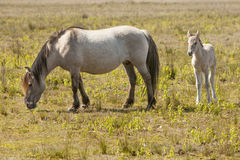 Cavalli, wildhorses Immagine Stock