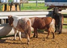 Cavallini che mangiano nella fattoria. Fotografia Stock
