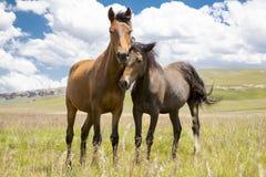Cavallini del Basuto negli altopiani del Lesotho Fotografie Stock Libere da Diritti