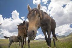 Cavallini del Basuto negli altopiani del Lesotho Fotografie Stock
