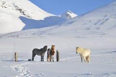 Cavallini dell'Islanda Fotografie Stock