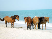 Cavallini di Assateague Immagine Stock
