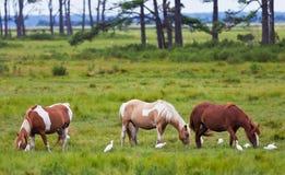 Cavallini di Chincoteague Fotografia Stock Libera da Diritti