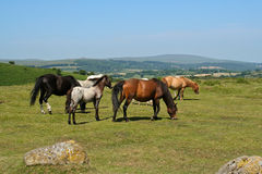 Cavallini di Dartmoor fotografia stock