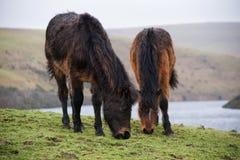 Cavallini di Dartmoor Immagine Stock