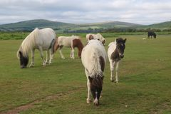 Cavallini di Dartmoor fotografie stock