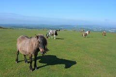 Cavallini di Dartmoor che pascono sul terreno comunale di Whitchurch, parco nazionale di Dartmoor, Devon, Regno Unito fotografia stock libera da diritti