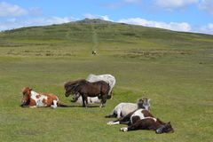Cavallini di Dartmoor nel parco nazionale di Dartmoor, Inghilterra immagini stock