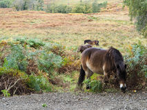 Cavallini di Exmoor che pascono nella foresta di Ashdown Fotografia Stock Libera da Diritti