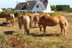 Cavallini di Haflinger in un campo Immagini Stock