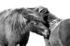 Cavallini di HDR in bianco e nero Fotografie Stock