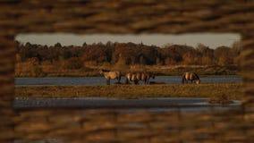 Cavallini di Konic dal pellame Immagine Stock