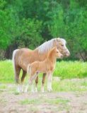 Cavallini di lingua gallese cavalla e foal Fotografia Stock