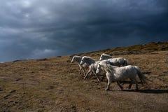 Cavallini di lingua gallese selvaggi Immagini Stock Libere da Diritti