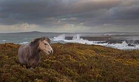 Cavallini di lingua gallese selvaggi Fotografie Stock Libere da Diritti
