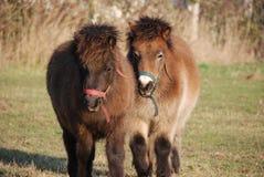 Cavallini di Shetland Immagini Stock