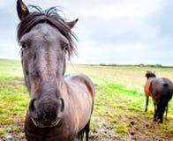 Cavallini islandesi Fotografia Stock Libera da Diritti