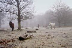 Cavallini nebbiosi Immagine Stock
