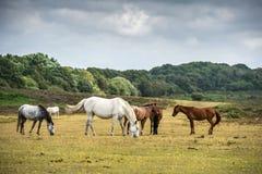 Cavallini in nuovo Forest National Park Immagine Stock Libera da Diritti