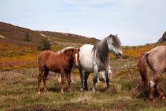 Cavallini selvaggi fotografie stock libere da diritti