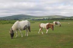 Cavallini selvaggi di Moorland fotografia stock