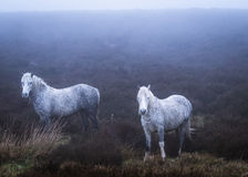 Cavallini selvaggi e luce atmosferica Fotografia Stock Libera da Diritti