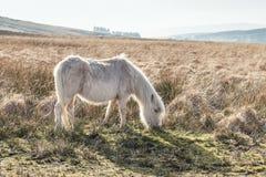Cavallini selvaggi nel parco nazionale dei segnali di Brecon in Galles, Regno Unito fotografia stock libera da diritti