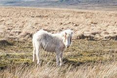 Cavallini selvaggi nel parco nazionale dei segnali di Brecon in Galles, Regno Unito fotografia stock
