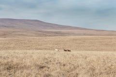Cavallini selvaggi nel parco nazionale dei segnali di Brecon in Galles, Regno Unito immagine stock