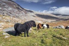 Cavallini selvaggi nel parco nazionale di Snowdonia immagine stock