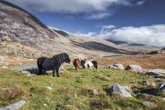 Cavallini selvaggi nel parco nazionale di Snowdonia immagini stock