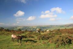 Cavallini selvaggi su Bonehill giù Immagini Stock
