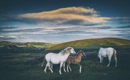 Cavallini selvaggi sul prato della montagna fotografie stock libere da diritti