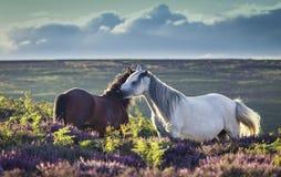 Cavallini selvaggi sul prato della regione montana fotografia stock