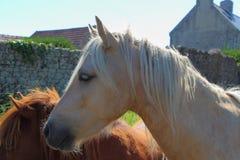 Cavallini in un campo Fotografie Stock