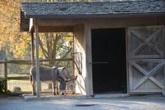 Cavallino Fotografia Stock