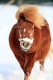 Cavallino Fotografia Stock Libera da Diritti