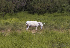 Cavallino bianco Fotografie Stock