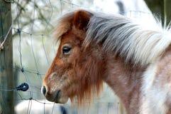 Cavallino bianco del Brown Shetland Immagine Stock Libera da Diritti