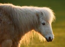 Cavallino bianco in sole Fotografie Stock