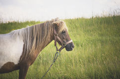 Cavallino (caballus di ferus di equus) in un campo Immagine Stock Libera da Diritti